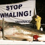 NZ may return to whaling - a travesty!
