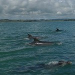 Dolphins in Whangarei Harbour