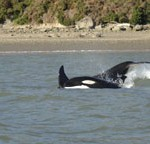 Orca in the Hokianga