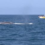 Blue whales off OREC