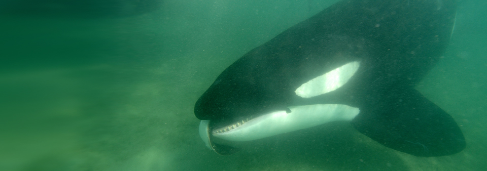 Orca with Ray in Mouth