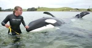 Dr Ingrid Visser with Rudie the orca at Taiharuru
