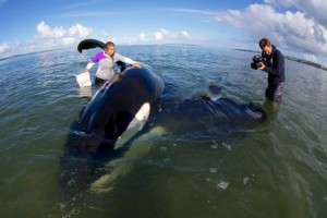 Dr Visser attends to Koru the orca, whilst Steve Hathaway films.  Photo by R. M. Lehmann for Orca Research Trust