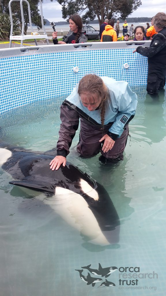 Dr Ingrid Visser alongside the young orca shortly after he was lowered in to the Parapool