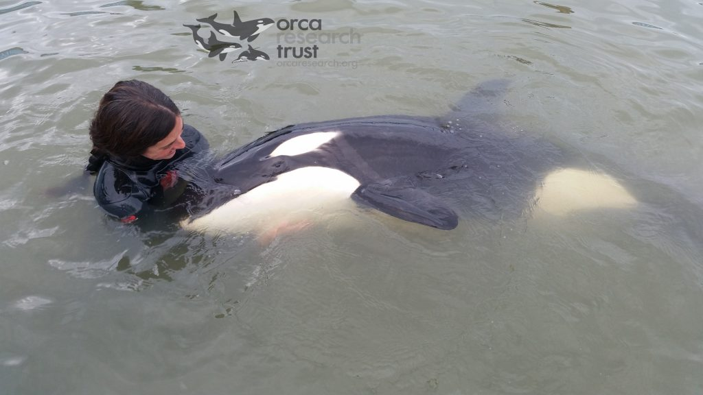 Katy Laveck gently guides the young orca in the water